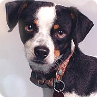 Chihuahua Mix Dog for adoption in Pt. Richmond, California - PINTO