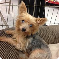 Adopt A Pet :: Pebbles - Inverness, FL