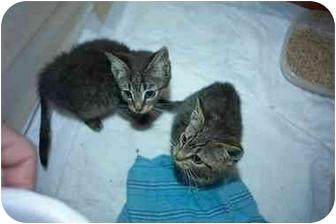 Domestic Shorthair Kitten for adoption in Little Neck, New York - lookin 4 2