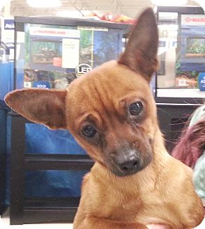 Chihuahua Mix Dog for adoption in Orlando, Florida - Maverick