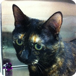 Domestic Shorthair Cat for adoption in Gilbert, Arizona - Little Kitty