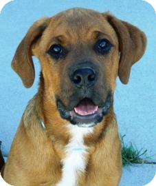 Boxer Mix Puppy for adoption in Cheyenne, Wyoming - Frik