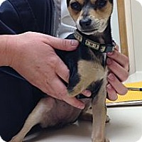Adopt A Pet :: Jolie - Encinitas, CA