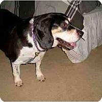 Adopt A Pet :: BERNIE - Gilbert, AZ