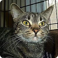 Domestic Shorthair Cat for adoption in Carmel, New York - Peanut