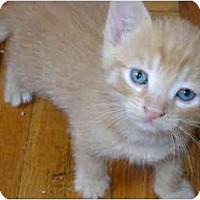Adopt A Pet :: orange kittens - Etobicoke, ON
