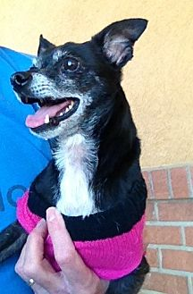 Chihuahua Mix Dog for adoption in Bedford, Texas - Beauty