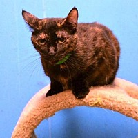 Domestic Shorthair Cat for adoption in Houston, Texas - Tara
