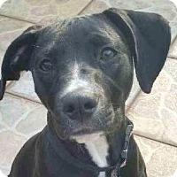 Adopt A Pet :: Pepsi - Miami, FL