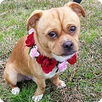 Adopt A Pet :: Puggy - Charlemont, MA