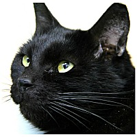 Domestic Shorthair Cat for adoption in Forked River, New Jersey - Raven