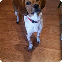 Adopt A Pet :: Ollie - Phoenxville, PA