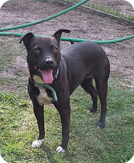 Adopt A Pet :: Sheba IN TRAINING  - Snow Hill, NC