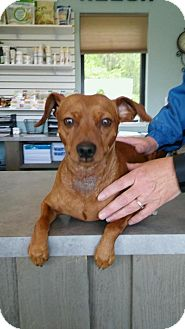 Miniature Pinscher Dog for adoption in Poland, Indiana - Paco