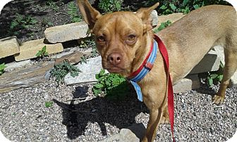 Miniature Pinscher/Chihuahua Mix Dog for adoption in Alliance, Nebraska - Oliver