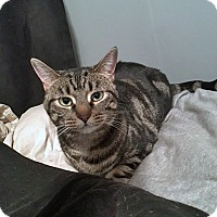 Domestic Shorthair Cat for adoption in Mississauga, Ontario, Ontario - Thea