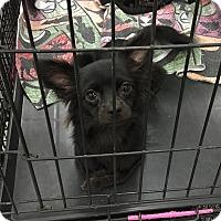 Adopt A Pet :: Foxy - Tucson, AZ