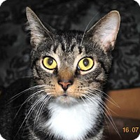 Domestic Shorthair Cat for adoption in Centralia, Illinois - Skittles
