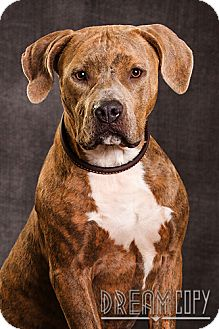 Pit Bull Terrier Mix Dog for adoption in Owensboro, Kentucky - Just Fab - DRD Program