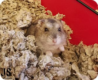 Hamster for adoption in Burlingame, California - Hamsters