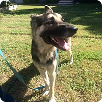 German Shepherd Dog Dog for adoption in Olympia, Washington - Bauldr