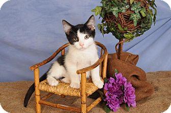 Domestic Shorthair Kitten for adoption in mishawaka, Indiana - Skipbo
