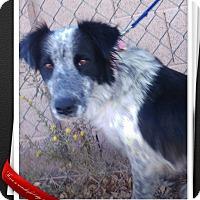 Border Collie Mix Dog for adoption in Apache Junction, Arizona - Fergie