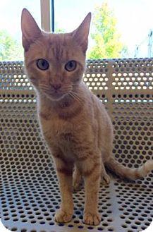 Domestic Shorthair Cat for adoption in Cumming, Georgia - Karen