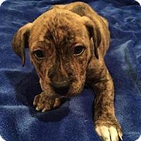Adopt A Pet :: George - Barnhart, MO