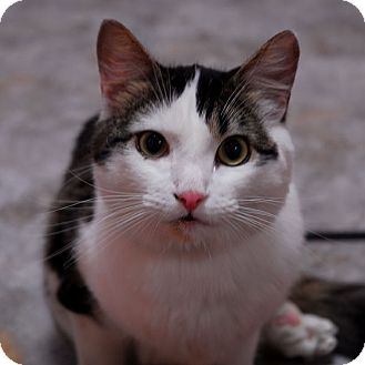 Domestic Shorthair Kitten for adoption in Lunenburg, Massachusetts - Amanda