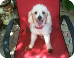 Poodle (Miniature) Dog for adoption in Melbourne, Florida - HARVEY
