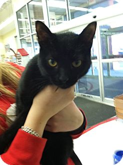 Domestic Shorthair Cat for adoption in Riverhead, New York - Eclipse