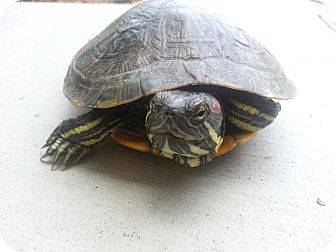 Turtle - Water for adoption in San Clemente, California - Red-Eared Sliders