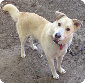 Husky/Labrador Retriever Mix Dog for adoption in Van Nuys, California - MAYA