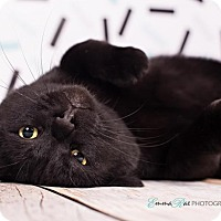 Adopt A Pet :: Black Kitty - Sterling Heights, MI