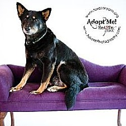 Photo 2 - German Shepherd Dog Mix Dog for adoption in Independence, Missouri - Janey *CL*