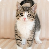 Adopt A Pet :: Donovan - Chicago, IL