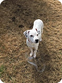 Dalmatian/Terrier (Unknown Type, Small) Mix Dog for adoption in Burleson, Texas - Pepper