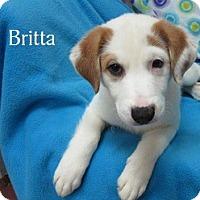 Adopt A Pet :: Britta - Bartonsville, PA