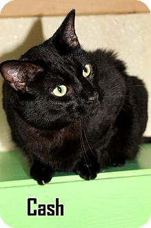 Domestic Shorthair Cat for adoption in Arkadelphia, Arkansas - Cash