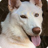 Adopt A Pet :: BACCHUS VON BOCHUM - Los Angeles, CA