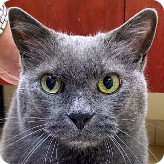 Domestic Mediumhair Cat for adoption in Norwalk, Connecticut - Swizzle