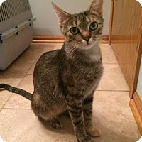 Domestic Shorthair Cat for adoption in West Des Moines, Iowa - Milan