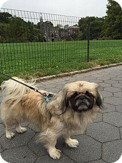 Pekingese Dog for adoption in Tenafly, New Jersey - Taz