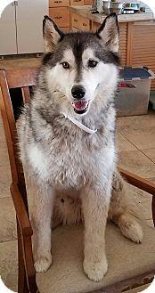 Husky Dog for adoption in Peoria, Arizona - RUFUS