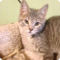 Adopt A Pet :: Lee-adoption pending - Bridgeton, MO