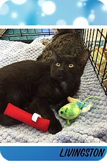 Domestic Mediumhair Cat for adoption in Mansfield, Texas - Livingston
