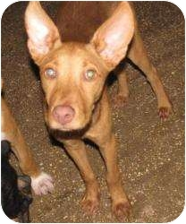 Isa   Adopted Puppy   East Hartford, CT   Pharaoh Hound Mix