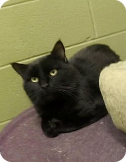Domestic Shorthair Cat for adoption in Edmond, Oklahoma - Ferris