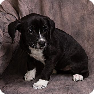 TANDY | Adopted Puppy | Anna, IL | Rat Terrier/Dachshund Mix